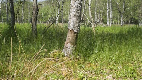 Afbarket træ i Malmmosen