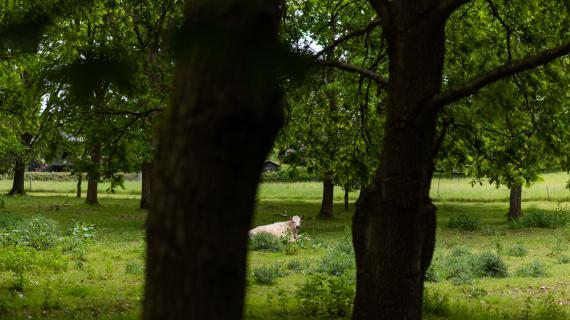 To egetræer i forgrunden og en hyggelig ko på bagvedliggende indhegnet græsareal. Fokus er naturpleje i Eskemose Skov