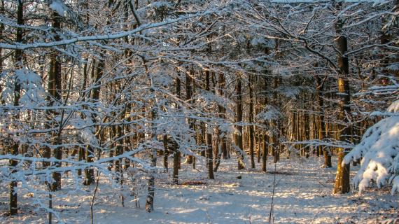 Sneklædt skov