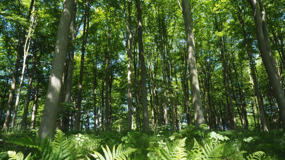 Udsprungen bøgesøjlehal i Furesøpark skov