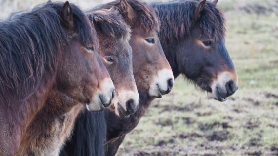 Exmoor-ponyer er kommet på græs i Vaserne