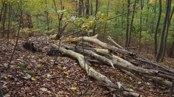 Træ fældet for syv år siden