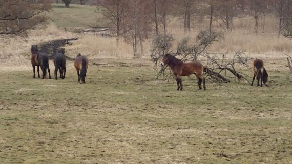 Heste i Maglemosen