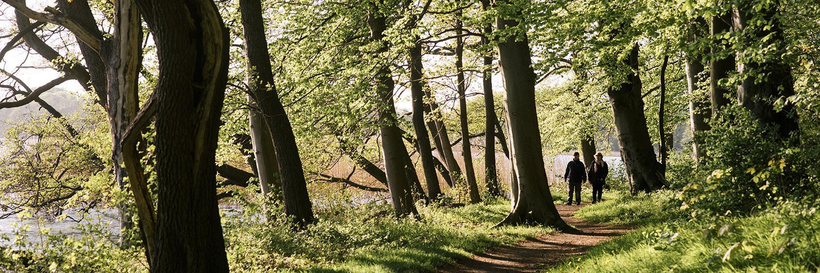 To mennesker går tur i den store bøgeskov