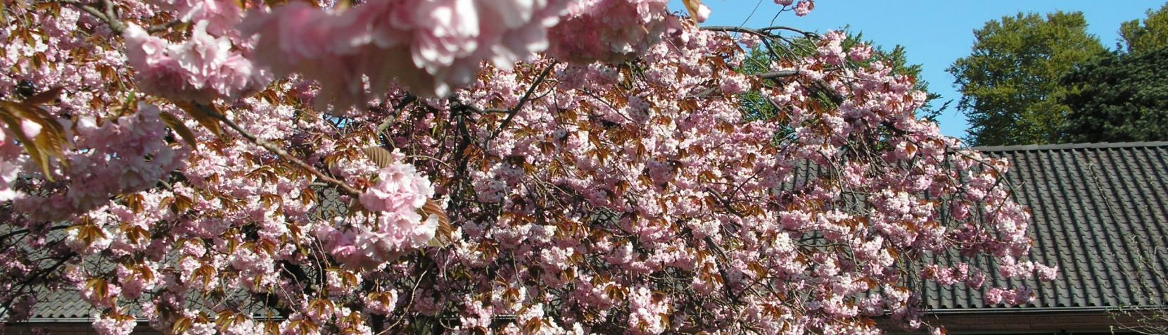 Billedet viser et kirsebærtræ