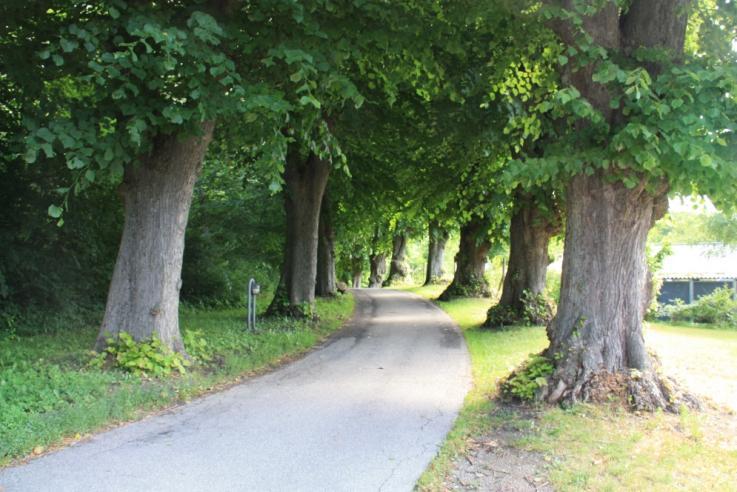 Træ-allé Ebberød