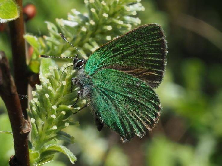 Grøn busksommerfugl i Malmmosen