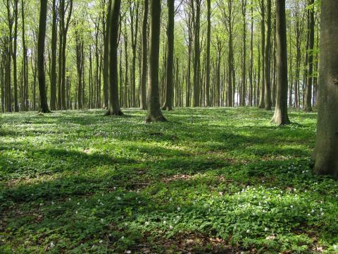 Bøgeskov om foråret, hvor bladene er lysegrønne, og der er anemoner i skovbunden