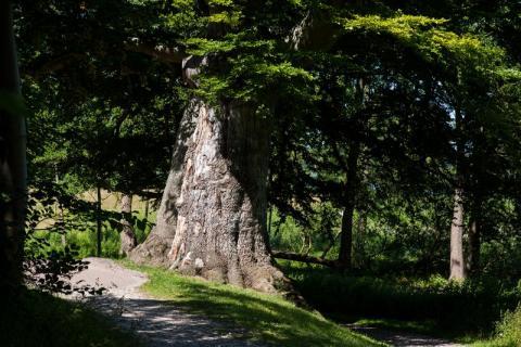 foto af et over 100 år gammelt bøgetræ en sommerdag