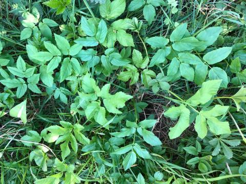 Skvalderkål mellem græs
