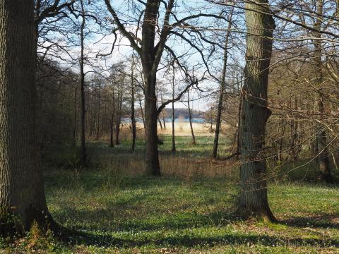 Nøgne bøgetræer i forårssolen. Anemoner i græsset og Furesøen i baggrunden.