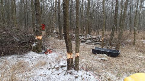 Elletræer ringes i snevejr, så soldug og andre lyskrævende arter kan vokse
