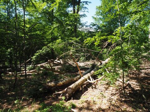 Mikadofældning giver stor lysbrønd i Eskemose Skov