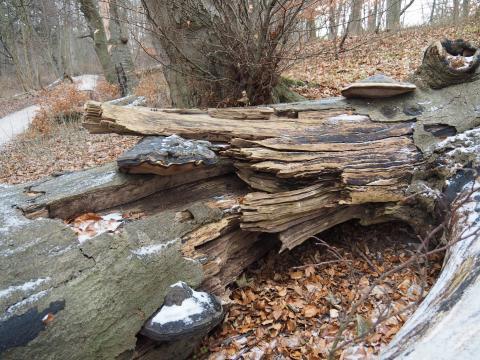 Træved af bøg med vedboebde svampe en vinterdag