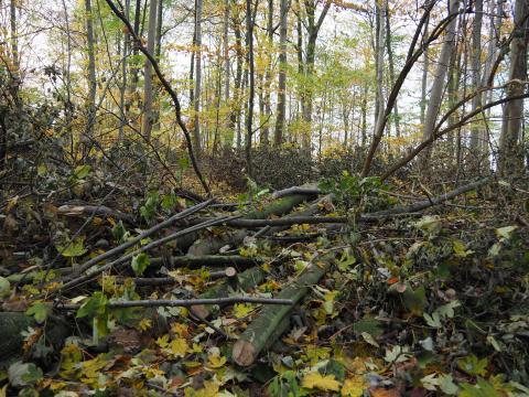 Unge bøgetræer ligger i en bunke i skovbunden efter fældning
