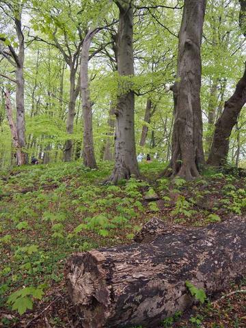 Udsprungne bøgetræer og dødt træved i skovbunden på Mariehøj