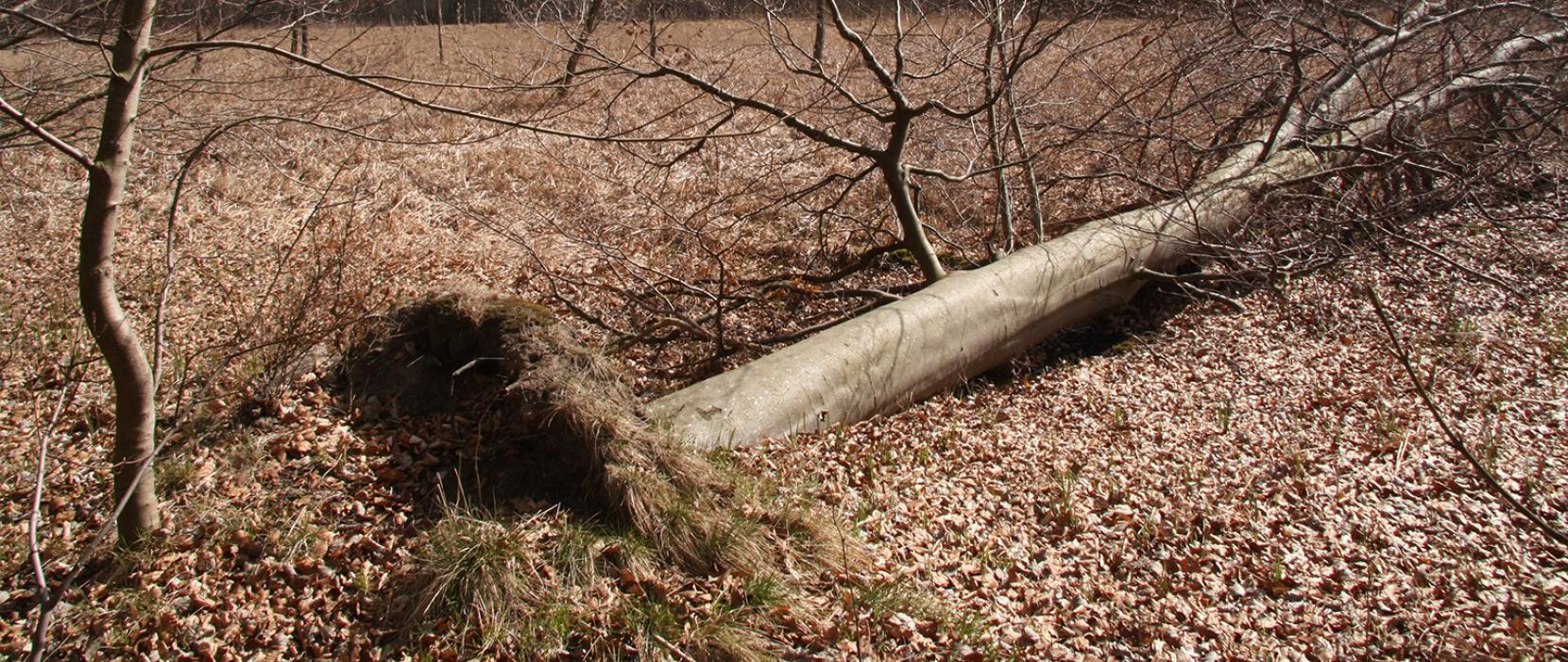 Væltet træ i Furesøparkskoven